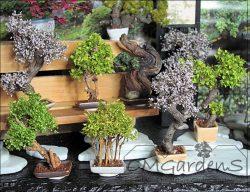 bonsai klein